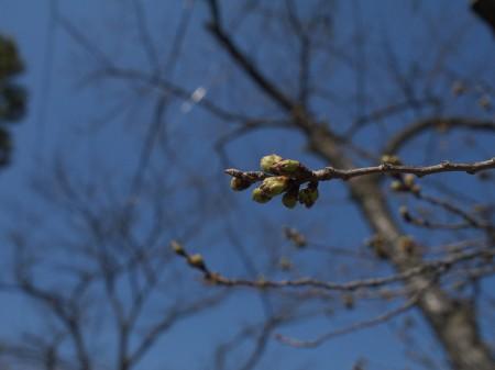 八幡の桜はまだまだ