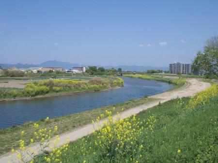 桂川にも菜の花