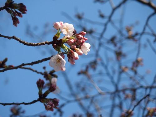 大阪の桜は3分咲きくらい?