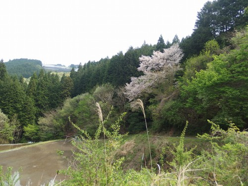 山桜を見ながら