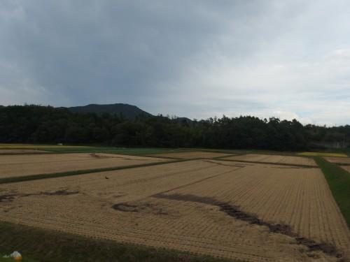 稲の収穫をしてはりました