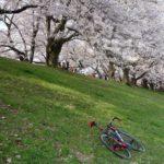 【第2回 あさごパンライド】背割堤で満開の桜を見る!お花見&朝ごパンライド!!